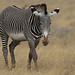 Cebra de Grévy - Photo (c) Steve Garvie, algunos derechos reservados (CC BY-NC-SA)