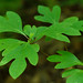 Sassafras - Photo (c) Tom Potterfield, some rights reserved (CC BY-NC-SA)