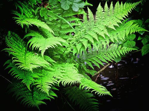 Fern_01 | by SafarFiertze