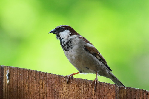 House Sparrow | by Ryedo