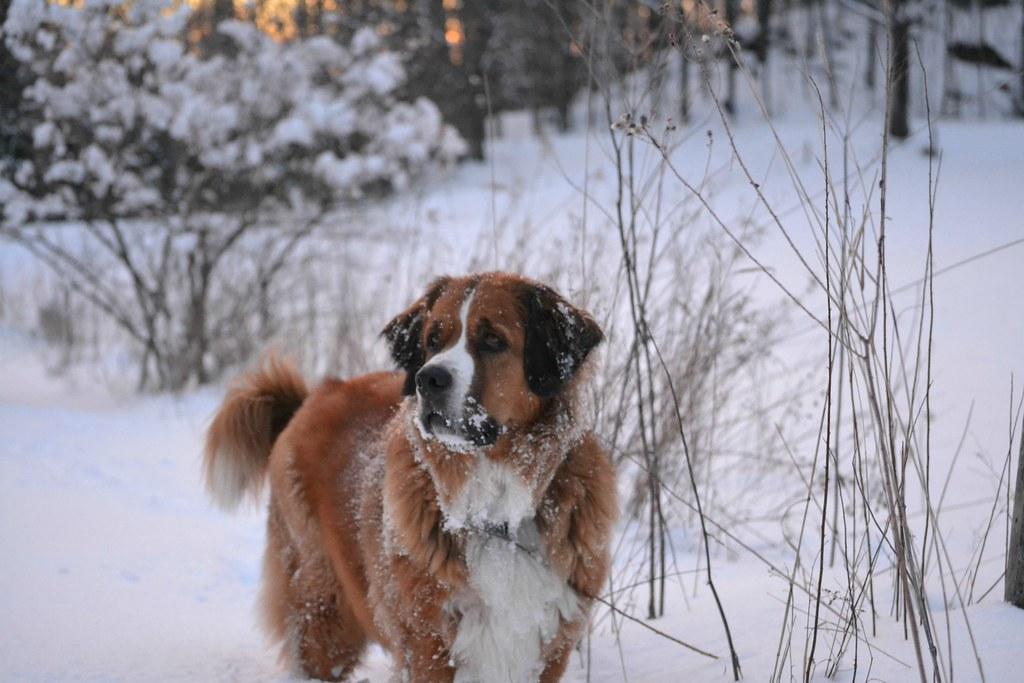 St Bernard And Bernese Mountain Dog Mix In Snow Oc 4
