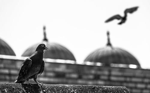 Pigeon hunter   by www.utkupekli.com