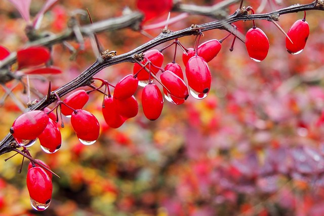 Autumnal Red Berries