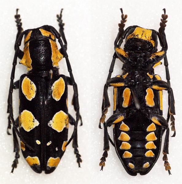 Tragocephala pretiosa