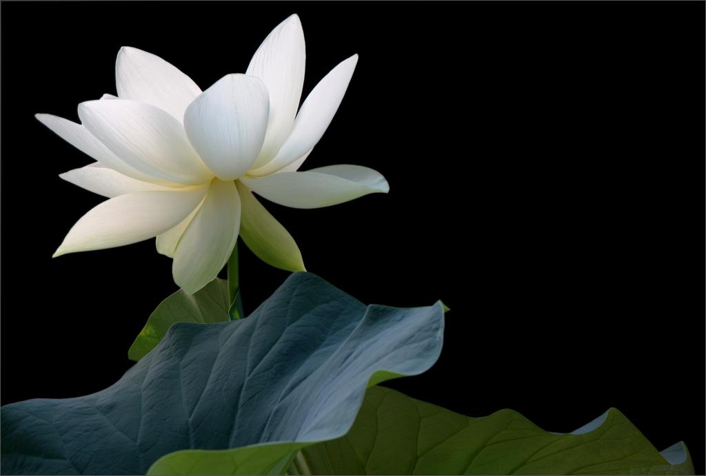 White Lotus Flower On Black Img2031 1000 White Lotus Fl Flickr