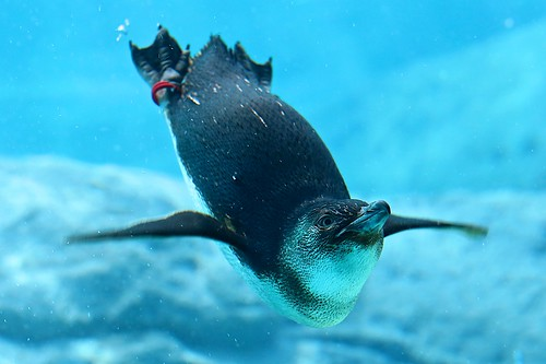 Penguin & Sydney Aquarium | by Luís Henrique Boucault