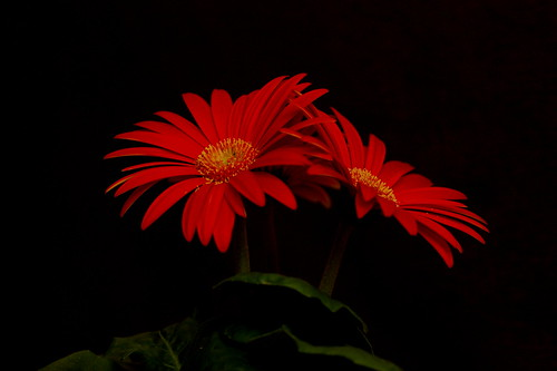 Gerbera Daisy Flower | by Always Shooting