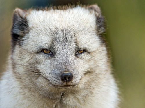 Nice and close portrait of a polar fox | by Tambako the Jaguar