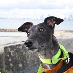 Greyhound Adventures at Deer Island, Winthrop MA, Nov 6th 2016