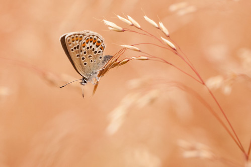 Silver-studded Blue Butterfly (Plebejus argus) | by Jason Dale (Over 1.8 Million Hits And Counting)