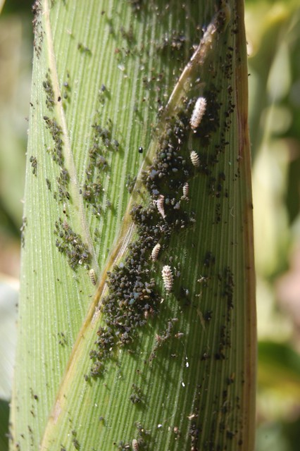 Larvas de crisopas y pulgones 1