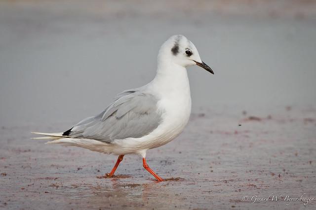 Bonaparte's Gull - Non-breeding Adult