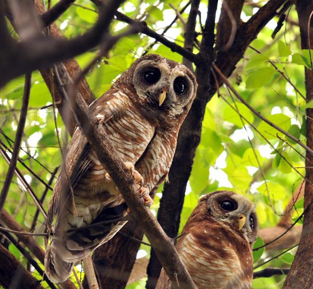 African Wood Owl, Strix woodfordii, Msuna, Zambezi River, Zimbabwe, Dec 2010
