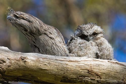 australia melbourne australianbirds tawnyfrogmouth podargusstrigoides greenvale woodlandshistoricpark