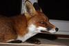 """OUR FANTASTIC MRS FOX""   VULPES VULPES. by tom webzell"
