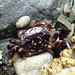 Flickr photo 'Purple Shore Crab' by: alisonleighlilly.