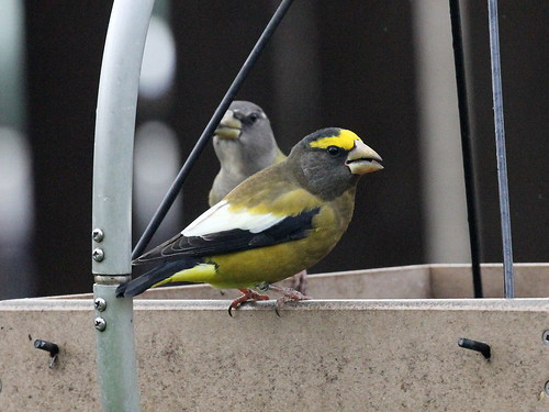 Evening Grosbeak; Coccothraustes vespertinus | by phenolog