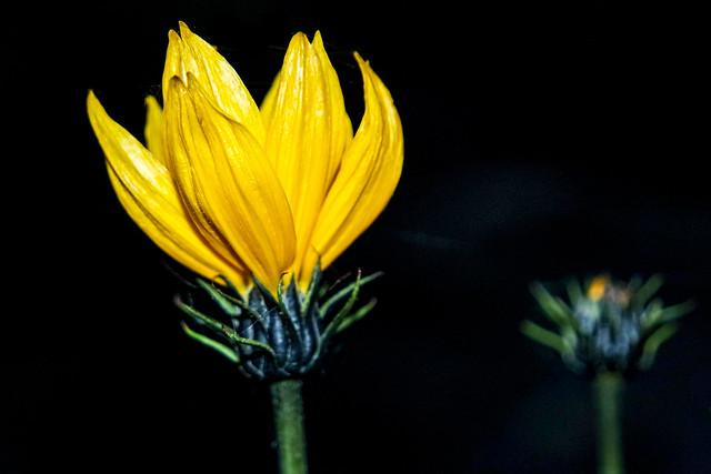 Yellow beauty