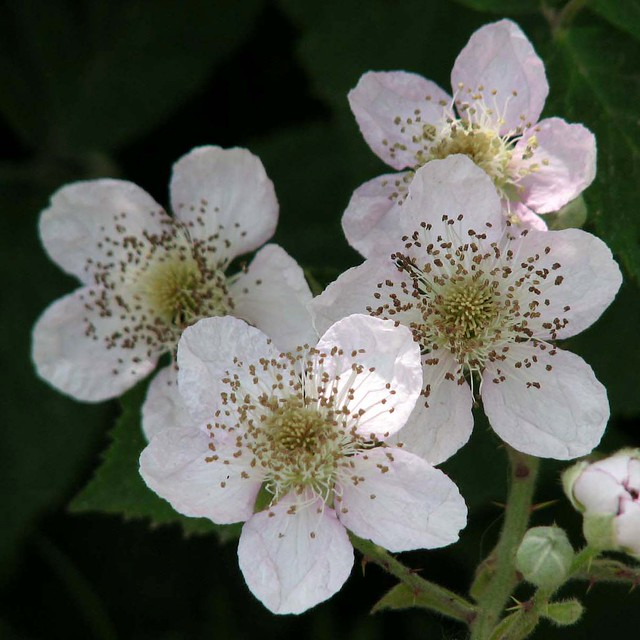 Along the Stort Canal (63) - Wild Roses