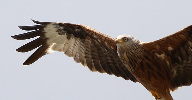 Red Kite profile