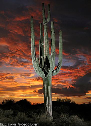 Saguaro Portrait #5 | by Eric Binns Photography