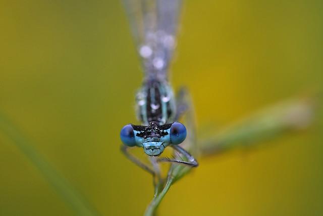 Platycnemis pennipes II