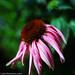 Echinacea by johnlishamer.com