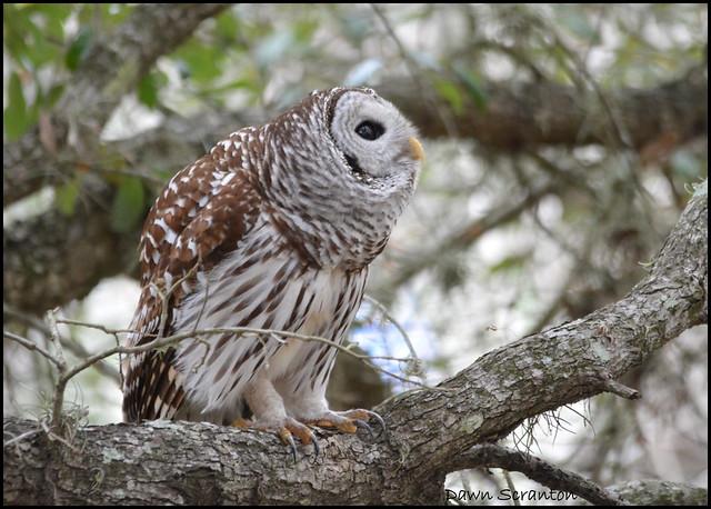 DSC_6495  Barred Owl