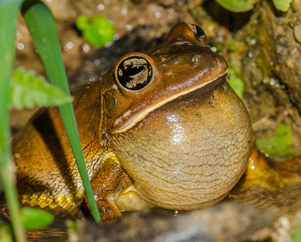 Male Blacksmith Tree Frog - Hypsiboas faber (Hylidae) 111s-6342