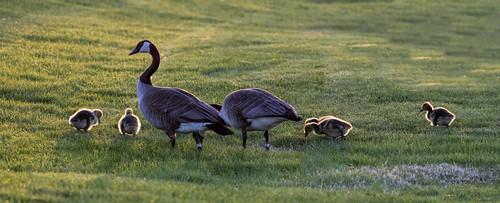 sunset geese gosling