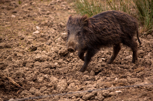 Wild Boar | by Andy Hay