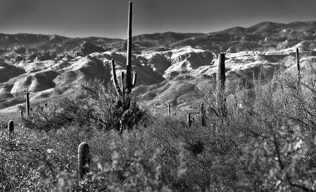 I Only Went Out for a Walk... (Black & White, Saguaro National Park)
