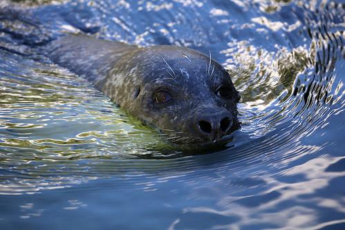 Seehund / seal | by M. Oertle