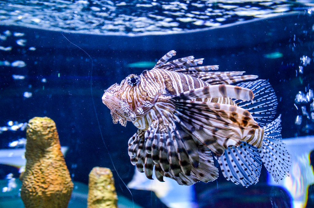 Lionfish closer Epcot seas