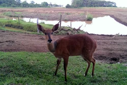 geotagged kenya bushbuck 肯亞 aberdarenationalpark geo:tool=yuancc 2013kenya geo:lat=0361516 geo:lon=36880417