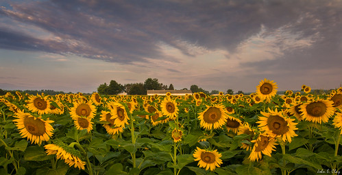 summer sunrise connecticut ct sunflower jclay