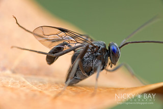 Ensign Wasp (Evania appendigaster) - DSC_1045   by nickybay