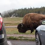 Bison near parking lot
