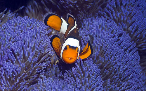 Clown anemonefish (Amphiprion percula) with blue variety of anemone (Stichodactyla gigantea), Misool, Raja Ampat, West Papua, Indonesia | by Northern Image Photography
