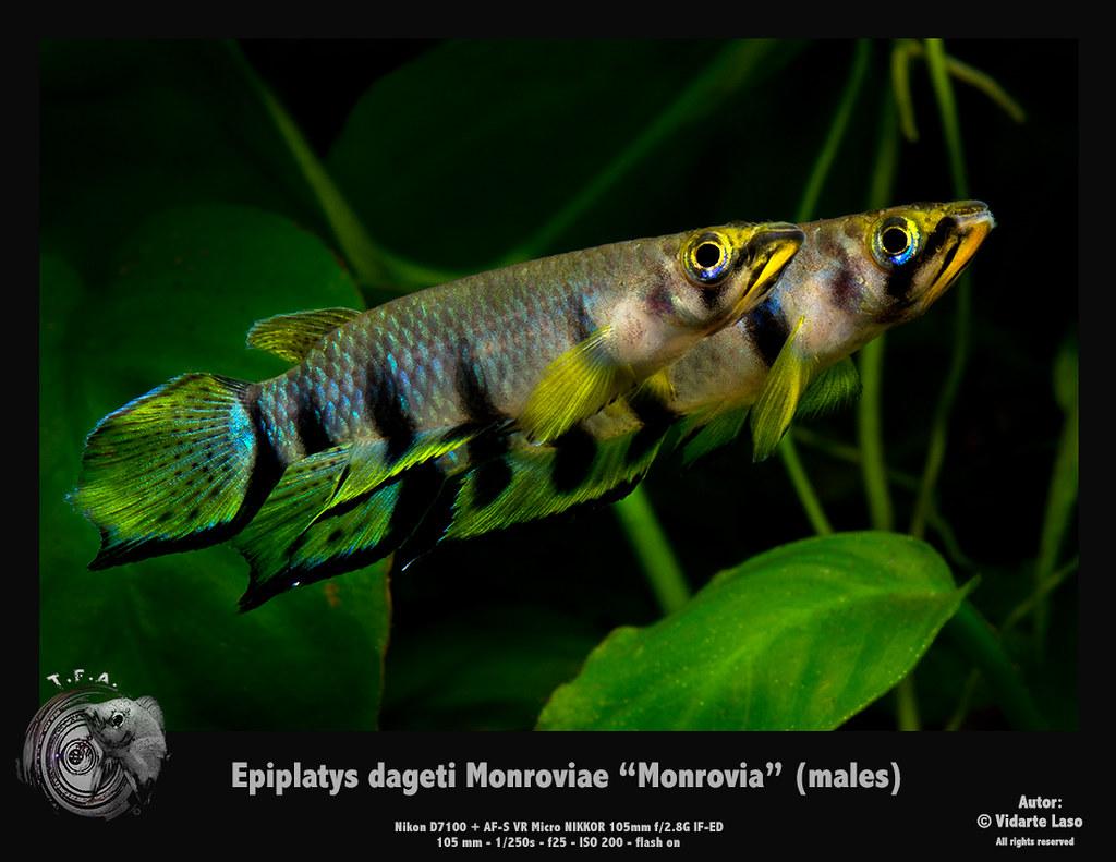 Epiplatys dageti monrovia monroviae | TFA Photography | Flickr