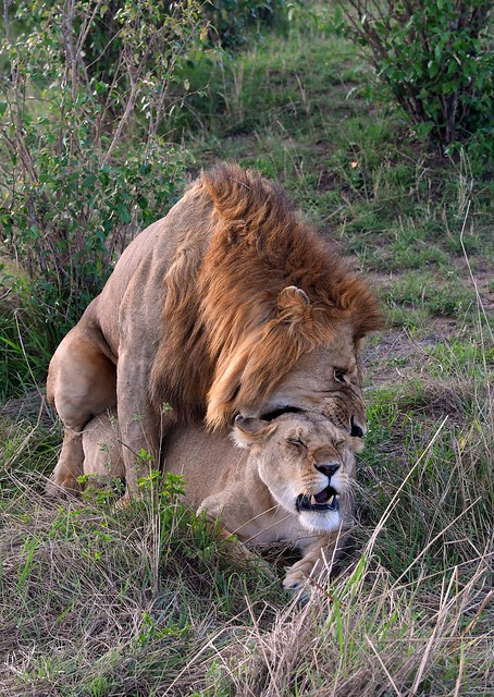 African Lions during the mating copulation.  Photo (all rights reserved) taken in the Masai Mara, Kenya.