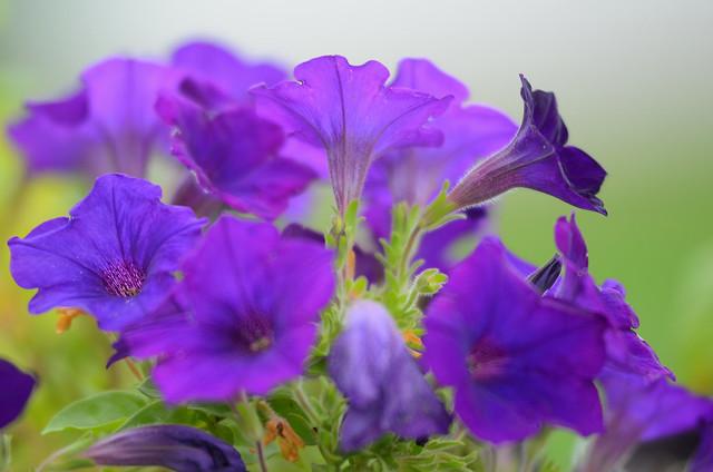 Purple Petunia Explosion