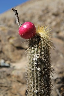 Down near the valley floor there were toffee apples growing on the cacti | by Pikes On Bikes