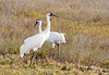 Whooping Cranes by integralrootcosxdx