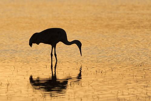 Sandhill Crane Silhouette