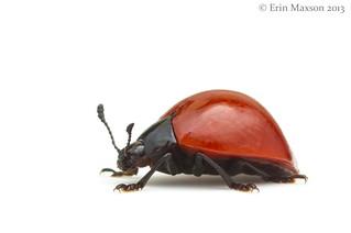Lady beetle or mimic?