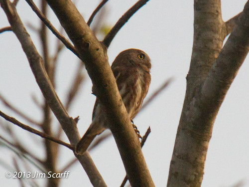 Ferruginous Pygmy Owl | by Jim Scarff