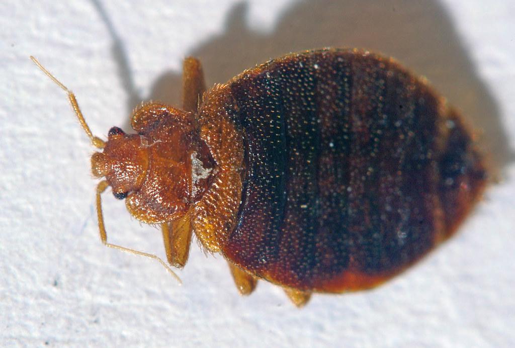 Cimicomorpha - Photo (c) tom spinker, algunos derechos reservados (CC BY-NC-ND)