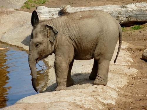 Baby Elephant (06/07/2014)