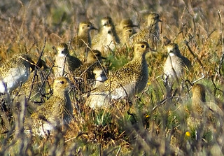 Golden Plover Pluvialis apricaria | by david cawthraw